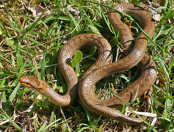 In Hongarije Voorkomende Slangen Soorten